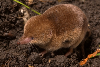 Common shrew