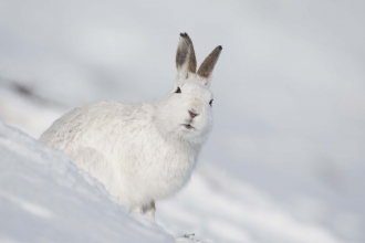 Mountain hare
