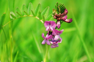 Bush Vetch