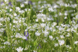 Greater Stitchwort