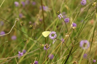 Large White butterfly on Devil's bit scabious at Burfa Bog Nature Reserve