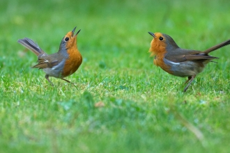 Two robins singing