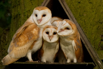 Barn Owl Family by Russell Savory