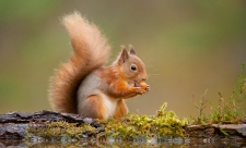 Red Squirrel nibbling nut
