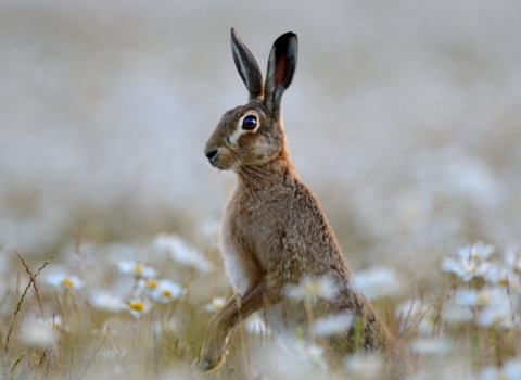 Hare in field of ox-eye daisies