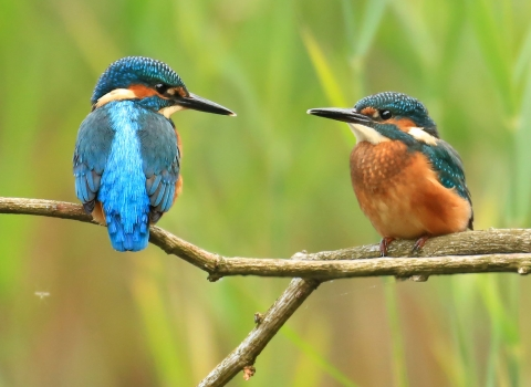 Two kingfishers by Jon Hawkins